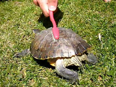"""Today On The Internet: Turtle Dances to """"Satisfaction"""""""
